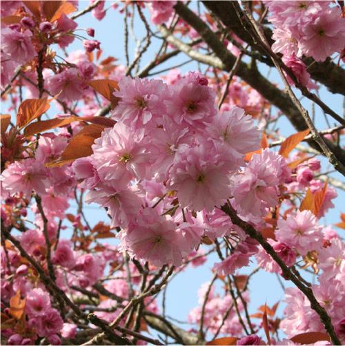 Pink Cherry Blossom in Helensburgh. © Ann Stewart