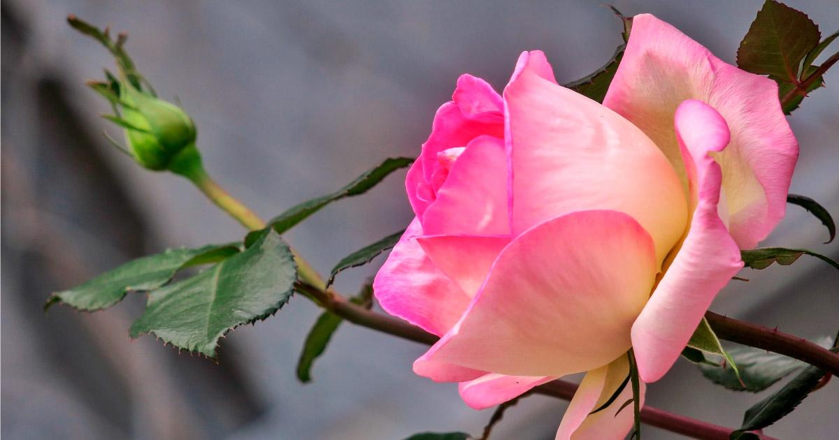 Pink Rose. Image source: https://pixabay.com/photos/hong-kong-flower-nature-plant-leaf-3334945/