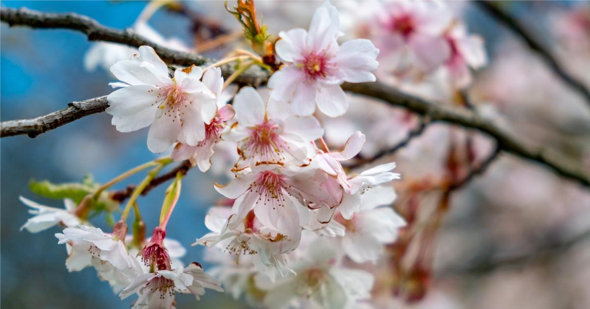 White blossom. Image source: https://pixabay.com/photos/scotland-bloom-flower-nature-plant-4119655/