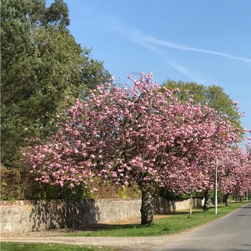 Cherry Blossom Image F. Baker