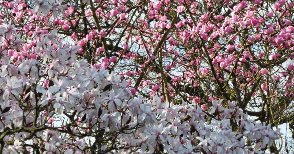 Cherry blossom Image © S. Thornley, Glenarn Garden.
