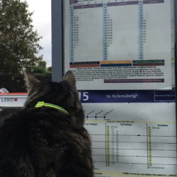 George the Helensburgh Cat looking at bus timetables Image used courtesy of J. Hood/George the Helensburgh Cat.