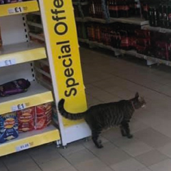 George the Helensburgh Cat in Tesco Express Image used courtesy of J. Hood/George the Helensburgh Cat.
